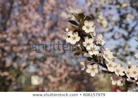 roze · bloei · boom · natuur · voorjaar · Frankrijk - stockfoto © freeprod
