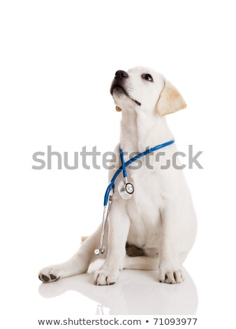 cute labrador puppies at the veterinary doctor   sitting and lyi stock photo © ilona75
