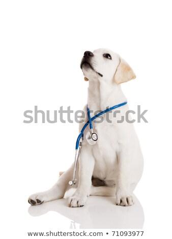 Cute Лабрадор щенки ветеринарный врач сидят Сток-фото © ilona75