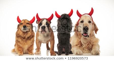 Stock photo: 4 little dogs wearing halloween devil costume