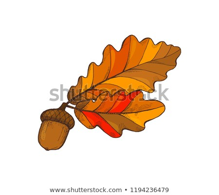 Leaf Foliage and Acorn Autumnal Frondage Vector Stock photo © robuart