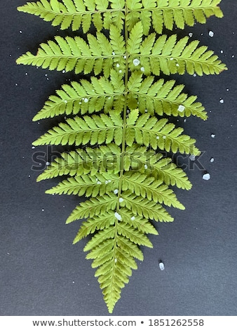 Beautiful green leaf of a fern around a dark background with copy space. Natural layout Stock photo © artjazz
