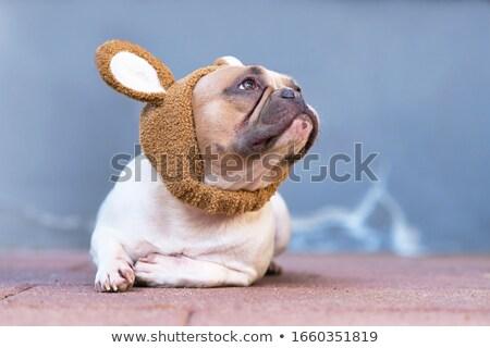 adorable french bulldog wearing bunny ears headband sitting stock photo © feedough