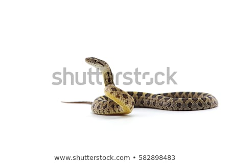 cobra · serpente · ilustração · rei · preto · e · branco · natureza - foto stock © colematt