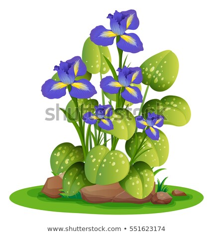 Roxo irlandês arbusto ilustração flor natureza Foto stock © colematt