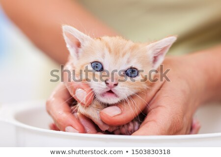 Cute ginger kitten in woman hand afraid of her first bath Stock photo © ilona75