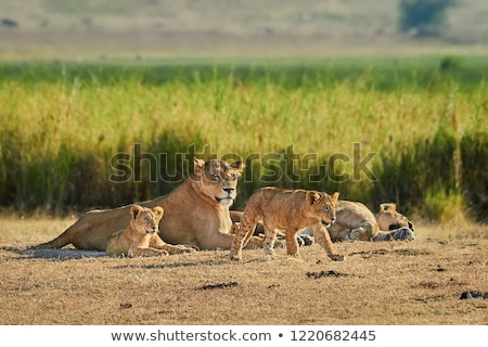 beautiful wild african lion stock photo © anna_om