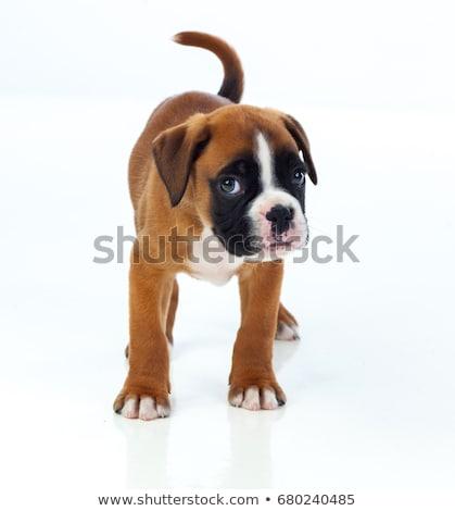 Studio shot of an adorable Boxer dog Stock photo © vauvau