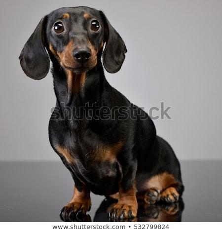 aanbiddelijk · kort · teckel · hond · oog - stockfoto © vauvau