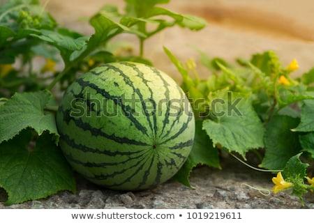 Sandía melón campo agricultura primavera Foto stock © simazoran