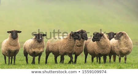 sheep in a meadow with others stock photo © elenarts