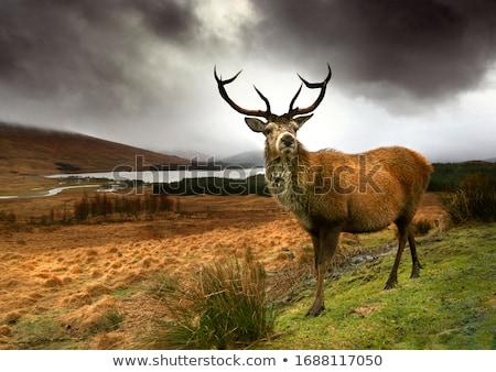 Deers in Scotland Stock photo © prill