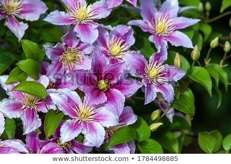 vibrant clematis flowers stock photo © gewoldi