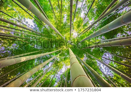 Bamboo forest seen from below Stock photo © Arrxxx