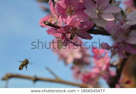 Abelha flor-de-rosa branco cara voar sombra Foto stock © Zebra-Finch