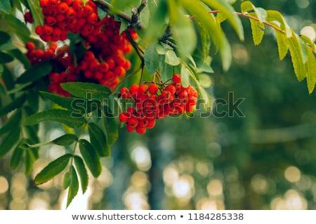 Montana ceniza Berry blanco frutas planta Foto stock © perysty