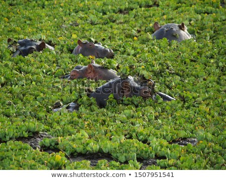 hipopótamo · enorme · cabeça · reserva · Quênia - foto stock © jarenwicklund