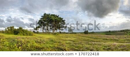 Clump of Scots Pine Trees Stock photo © flotsom