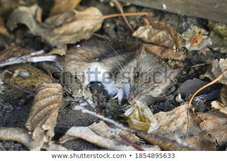 Stock photo: Dead Dried Rat Head