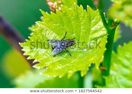 Zwarte vliegen blad permanente plant Stockfoto © rhamm