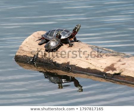 geschilderd · schildpad · vijver · reflectie · meer · dier - stockfoto © enterlinedesign