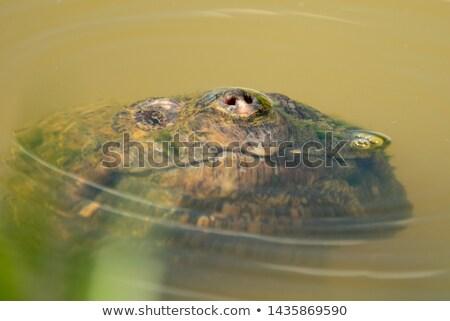 água · doce · tartaruga · imagem · fora · água · natureza - foto stock © ca2hill