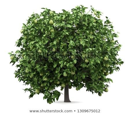 Pomelo on a tree Stock photo © elwynn