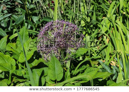 Beautiful spring lilac allium surrounded with green leaves.  Stock photo © meinzahn