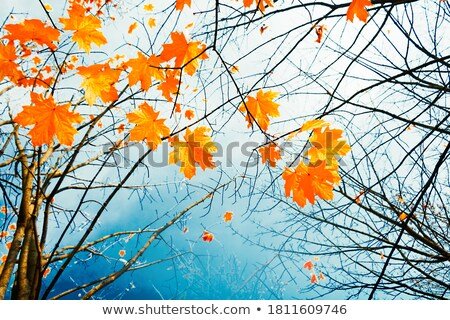 Stock photo: crown of tree with colorful leaves and blue sky