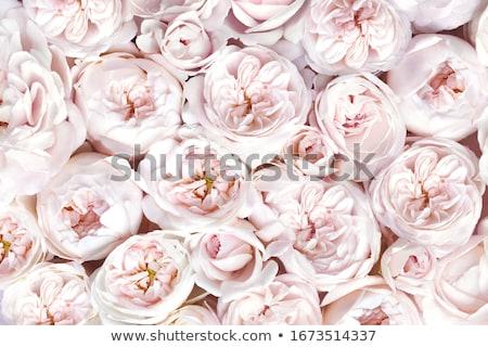 Miękkie różowy białe kwiaty biały kwiaty charakter Zdjęcia stock © emattil