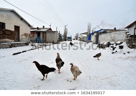 free range chickens in snow covered farmyard stock photo © 5xinc
