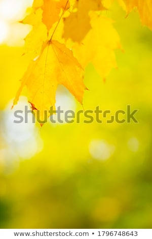 backlit golden autumn foliage Stock photo © zkruger