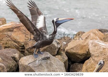 Pelican bird standing on rocks Stock photo © bluering