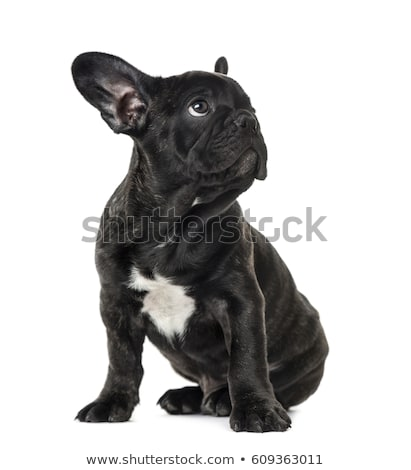 Stock photo: French bulldog looking up in the white studio