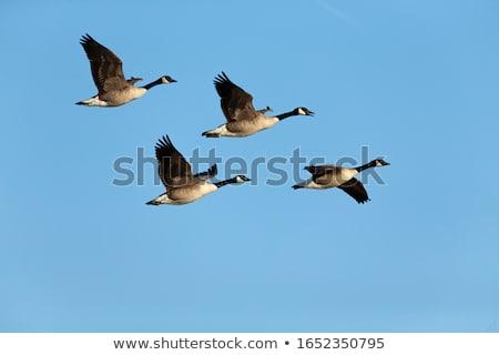 Stockfoto: Canada · ganzen · vlucht · vliegen · bewolkt