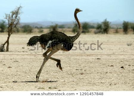 Avestruz raça ilustração deserto pássaro areia Foto stock © adrenalina
