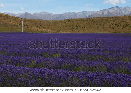 Stock photo: Wind Turbines on Lavender Hills