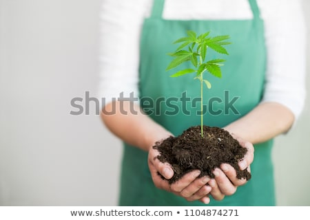 Croissant marijuana horticulture weed juridiques Photo stock © Lightsource