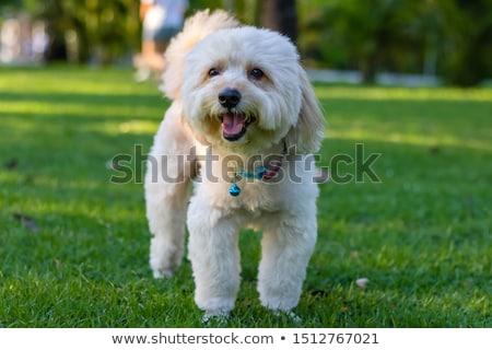 Smiling Little Poodle Stock photo © cthoman