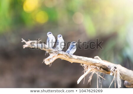 three Mangrove Swallows perching on branch at Tarcoles River Stock photo © Lopolo