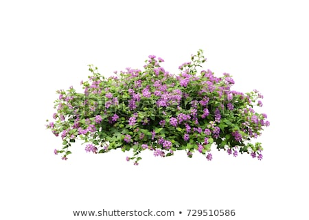 Lavender flowers in the bush Stock photo © colematt
