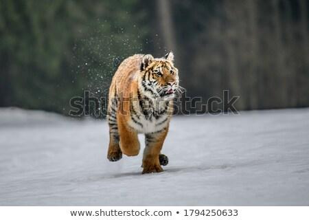 Ingesteld tijger lopen illustratie gelukkig natuur Stockfoto © colematt