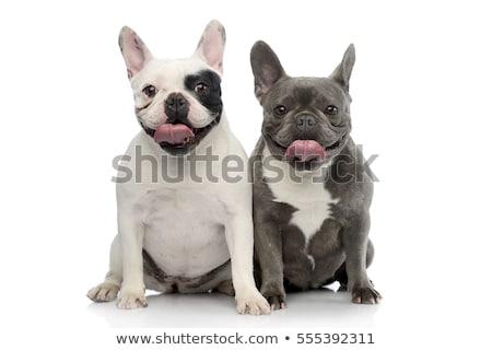 Twee aanbiddelijk frans bulldog vergadering Stockfoto © vauvau