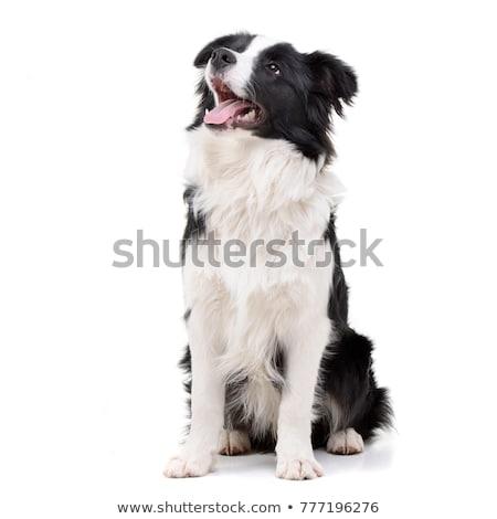 Adorabile border collie seduta grigio bellezza Foto d'archivio © vauvau