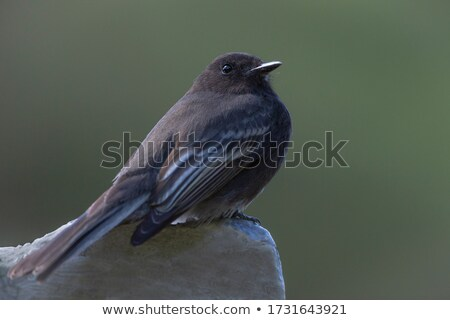 Siyah yalıtılmış beyaz doğa kuş tüy Stok fotoğraf © shawlinmohd