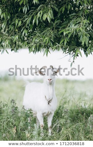 pasture with a sinle olive tree stock photo © fyletto