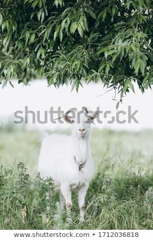 ストックフォト: オリーブの木 · 牛 · 山 · 戻る · 春