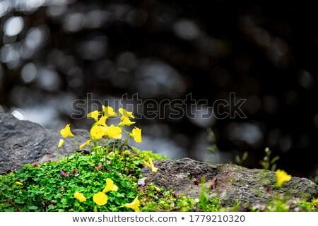 Sarı çiçek yaprakları sarı nehir taş ahşap Stok fotoğraf © calvste