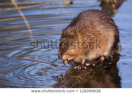 Víz patkány ül száraz fa Stock fotó © Pruser