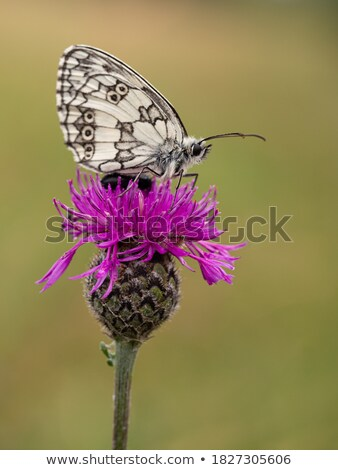 The greater butterfly on a pink flower Stock photo © acidgrey